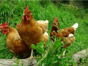 poule-intelligente-1-8610323